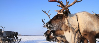 Police in one of Russia's Arctic regions think it will be easier to police the region with reindeer teams than with snowmobiles. (iStock)