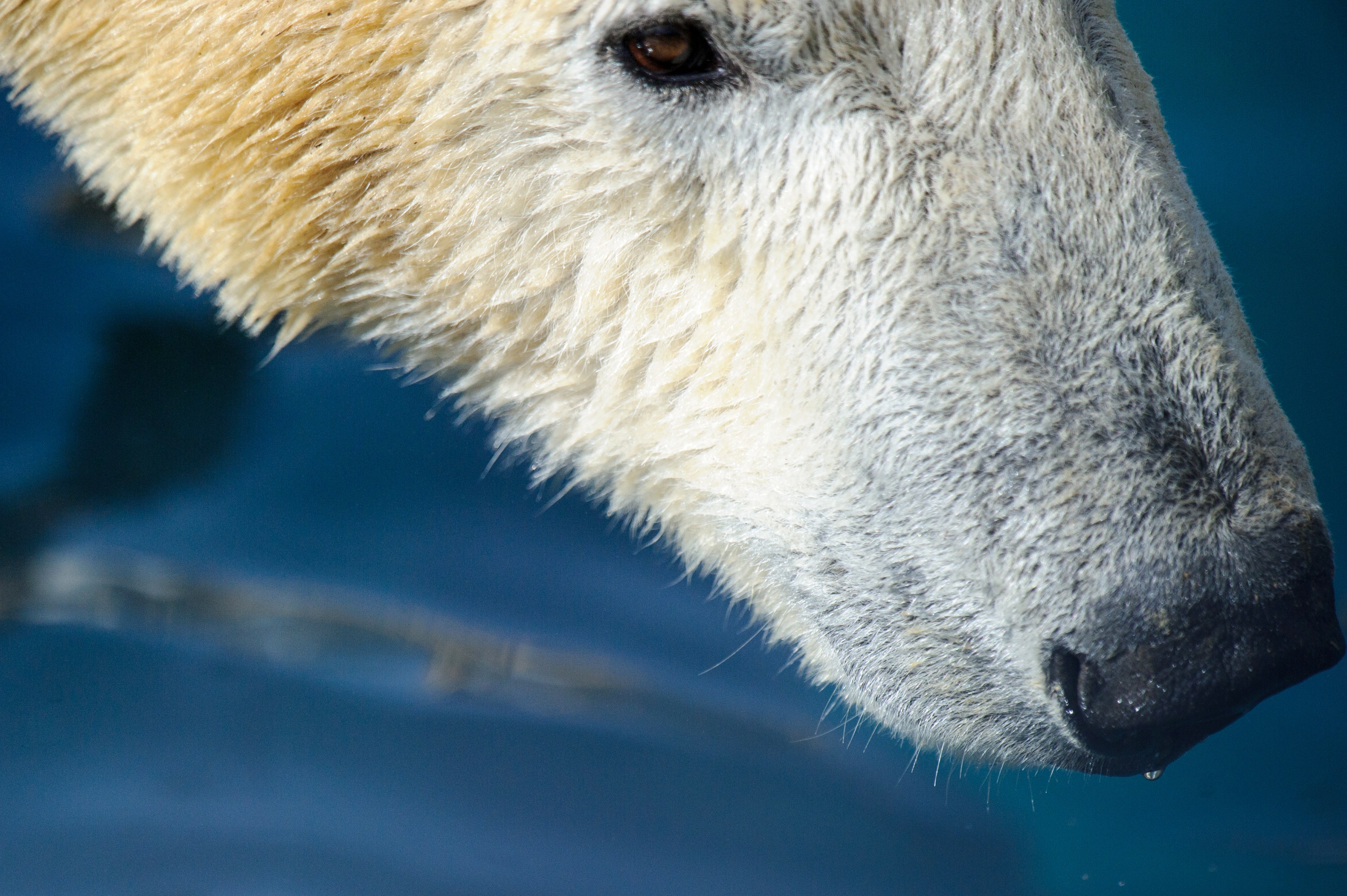 New studies out of China are unravelling the complex makeup of polar bear hair.  (Sebastien Bozon/Getty Images)