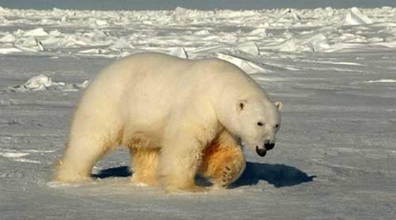 A male polar bear in the Beaufort Sea in 2005. (Steven C. Amstrup/USGS/AP)