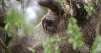 A eurasian elk in a forest in Sweden. (iStock)