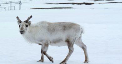 Still snow for Santa and friends on Svalbard! (I.Quaile)