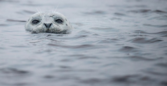 Scientists estimated that around 700 seals were hit by bird flu, but they now believe as many as 3,000 animals could have been killed by the bug. (iStock)