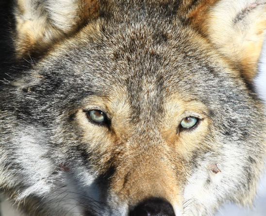 People in many areas of Sweden say wolf hunts are possible, and even necessary, given the size of the wolf population. (iStock)