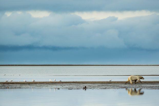 A polar bear walks plies the line between the Arctic National Wildlife Refuge and the Arctic Ocean along a barrier island on Sept. 10, 2012. (Loren Holmes/ Alaska Dispatch News)