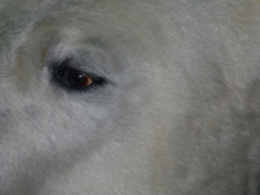 Keeping a wary eye on his Arctic home… (Irene Quaile)