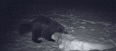 A hundred wolverines have gone due to hunting. (Kenneth Bergström/Sveriges Radio)