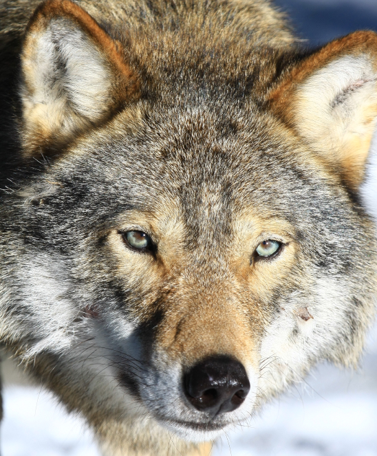 "an analysis of the population of wolves in the united states Wolves have played a unique role in both colonial american history and united states history, as, ""[p]art of our heritage is our nation's war against the wolf our ancestors."