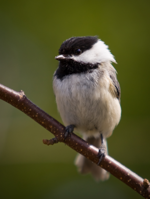 A chickadee with a healthy beak. In some parts of the world like Alaska and Great Britain, birds like this are showing beak deformities. (iStock)