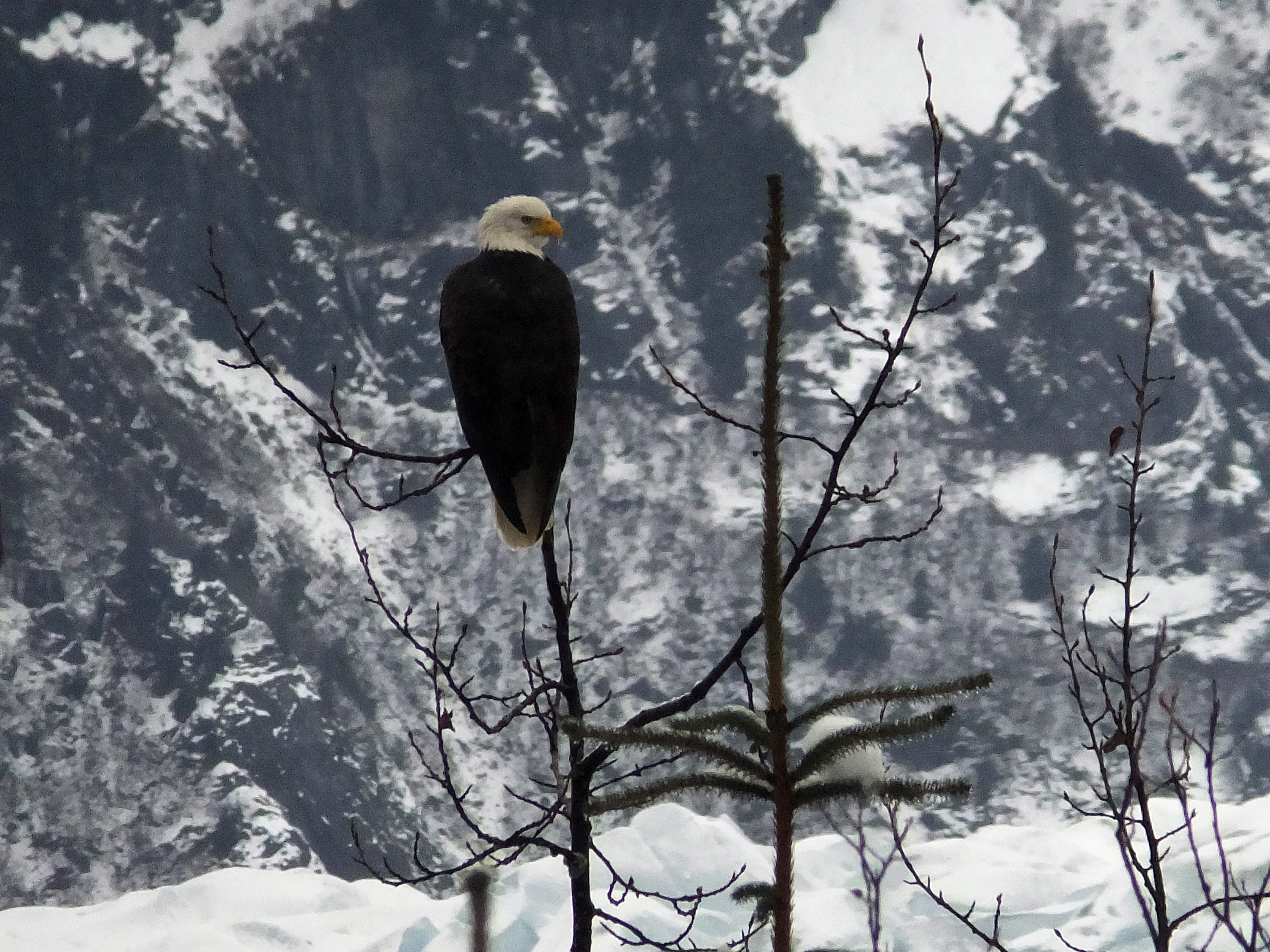 A bald eagle sits perched on a tree near the Mendenhall Glacier on Sunday, Dec. 7, 2014, in Juneau, Alaska. How will climate change affect Alaska's future? (Becky Bohrer/AP)