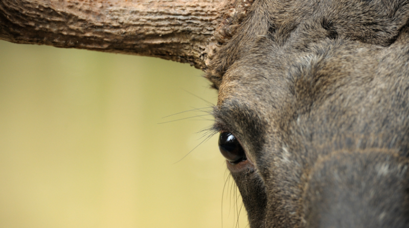 Will forest protection help protect elk from climate change in Sweden. (iStock)
