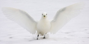 The ivory gull is the only all-white gull. It is considered threatened in Canada. (Shirley Gallant)