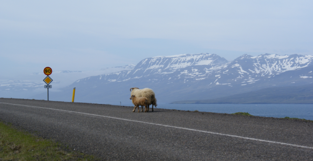 Two sheep walking down an empty road in Iceland's East Fjords. (iStock)