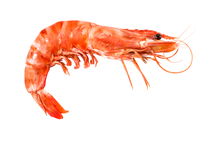 Will shrimp move North to find colder waters? (iStock)