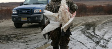 Pat Samson got three geese and a tundra swan on Saturday, May 2, 2015, hunting about eight miles outside of Bethel. (Lisa Demer/Alaska Dispatch News)