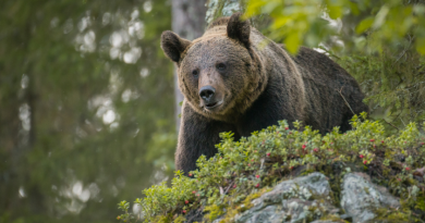 Some people in northern Sweden are concerned about increased bear sightings near their communities. (iStock)