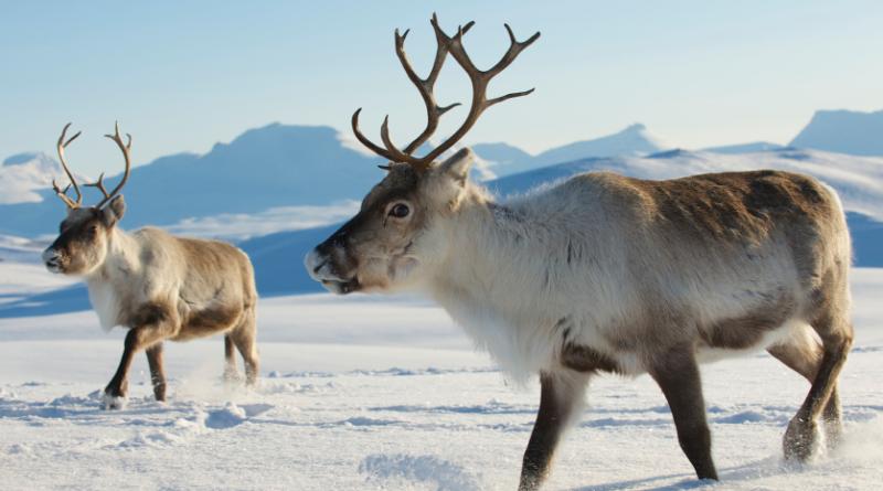 Reindeer in Finnish Lapland. (iStock)