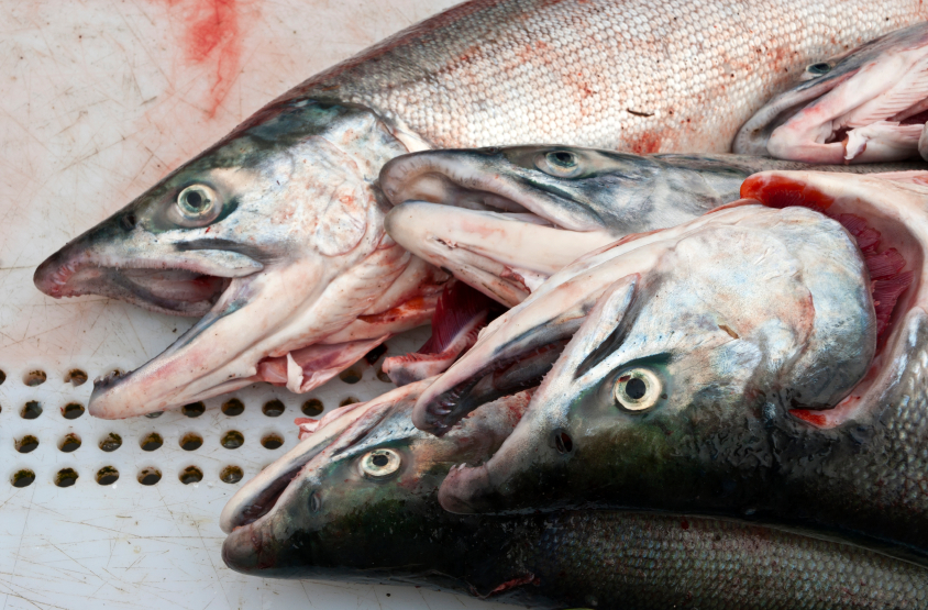 How are salmon sharks affecting king salmon in the Bering Sea? (iStock)