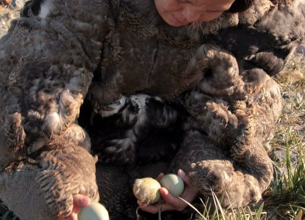"With no caribou on their islands, Inuit on the Belcher Islands have relied on eider ducks for food and clothing for generations. Here, an Inuit woman wearing a traditional eider skin parka collects duck eggs in a still photo from the film ""People of a Feather."" (Joel Heath/The Canadian Press)"