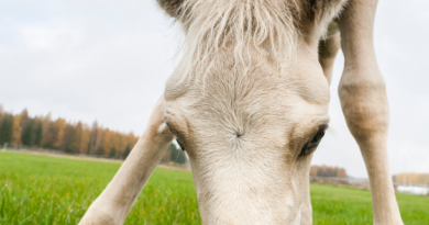 The amount of energy contained in the manure produced by three horses in a year is equivalent to the annual heat consumption of a single-family house in Finland. (iStock)