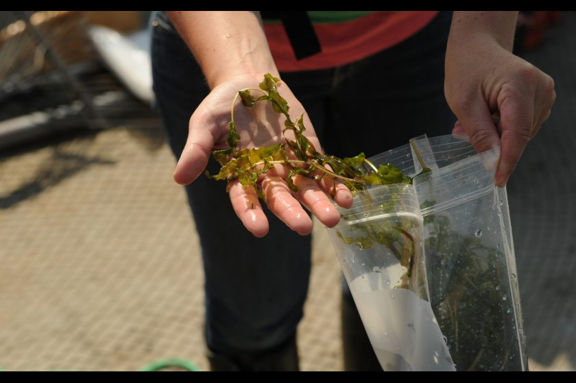 Heather Stewart, with the Alaska Department of Natural Resources, shows a sample of Richardson's Pond Weed, during a survey the weeds in Lake Hood Float Plane Base on Wednesday, June 24, 2015. The weed is native species often mistaken for the invasive species Elodea that has been found in a small area of Lake Hood. (Bob Hallinen/Alaska Dispatch News)