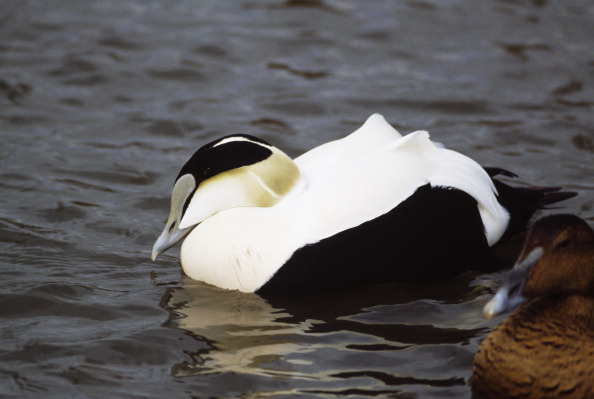 Researchers believe eider ducks may have created their own, richly-vegetated habitat by depositing nutrients through their droppings.  Botanists will investigate.
