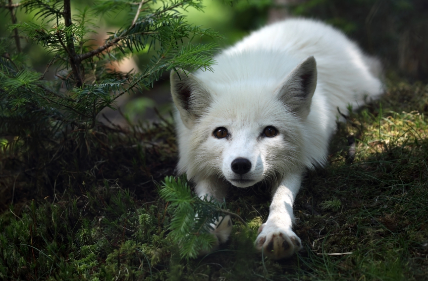 A new feeding program is contributing to an increased arctic fox population in Sweden. (iStock)