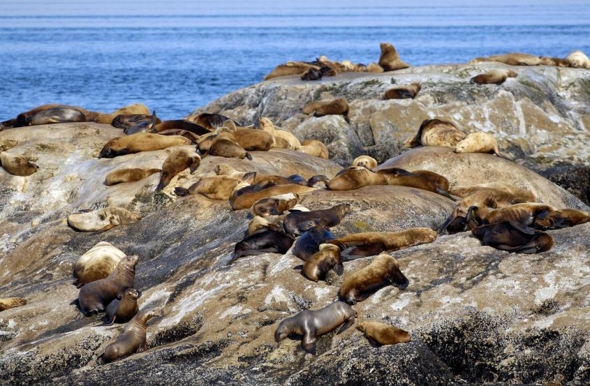 Fur seals on an island in Glacier Bay, Alaska. (iStock)