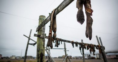 Walrus carcasses hanging to dry in the St. Lawrence island village of Gambell. August 29, 2012. (Loren Holmes/ Alaska Dispatch News)