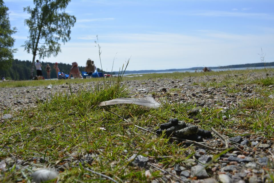 Vääksy beach, where barnacle geese are a problem, says municipality. (Yle News)