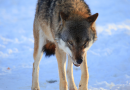 More wolves can be culled after Supreme Court decision