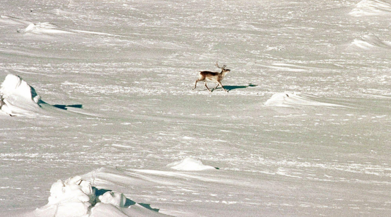 A caribou in Baffin Island's south. A limited caribou harvest will be allowed this year. (Stephan Savoia/The Canadian Press)