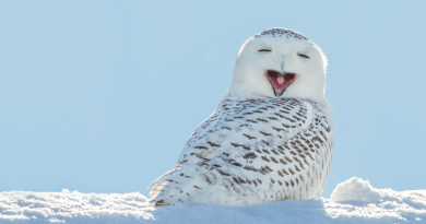 A snowy owl yawning. Conservationists think an abundance of lemmings and rodents are attracting these birds of prey to nesting grounds in western Sweden. (iStock)