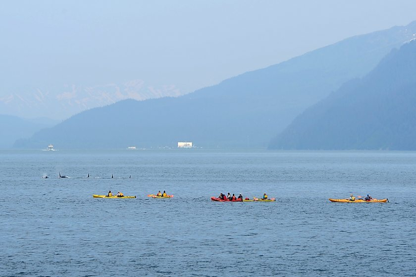 Kenai Fjords Wilderness Lodge guests view passing orcas while paddling with Sunny Cove Sea Kayaking at Fox Island on Tuesday afternoon, June 2015 in Resurrection Bay. (Erik Hill / Alaska Dispatch News)