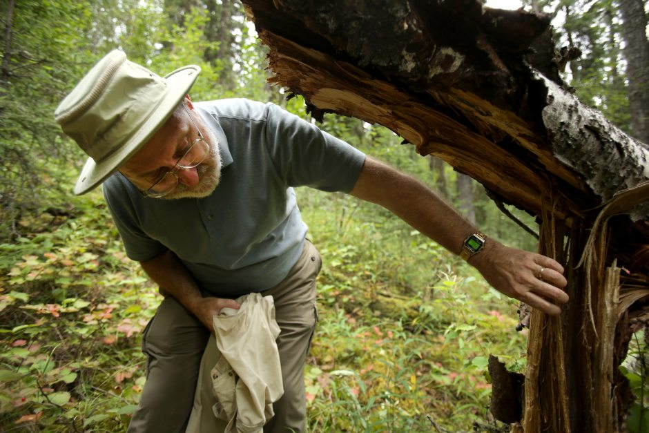 Glenn Juday, a forestry professor at the University of Alaska, Fairbanks talks about the spruce tree forests at Bonanza Creek near Fairbanks within a forestry study area on Monday Aug. 17, 2015. (Shelby Lum / Alaska Dispatch News)