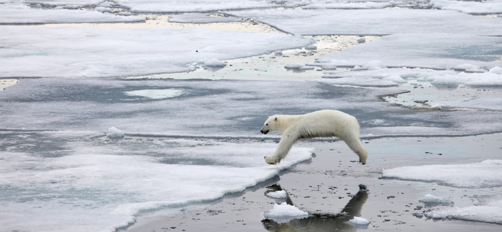 A polar bear in Franz Josef Land. Scientists worry the cancellation of a joint Norway-Russia polar bear inventory will negatively impact researchers' understanding of the region's animal population. (iStock)