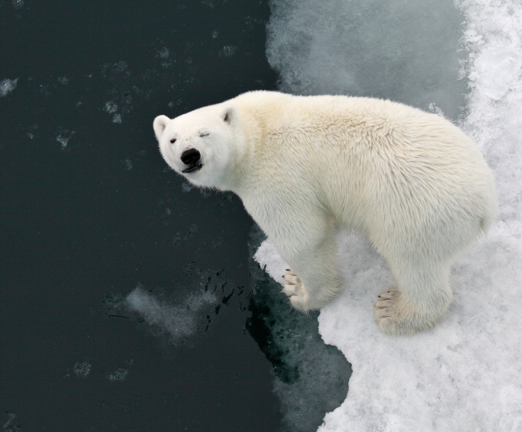 """A polar bear in Franz Josef Land. """"For polar bears, there are no borders. Unfortunately, for scientists, they are very clearly defined,"""" says Mariya Gavrilo, Deputy Director of the national park """"Russian Arctic."""""""