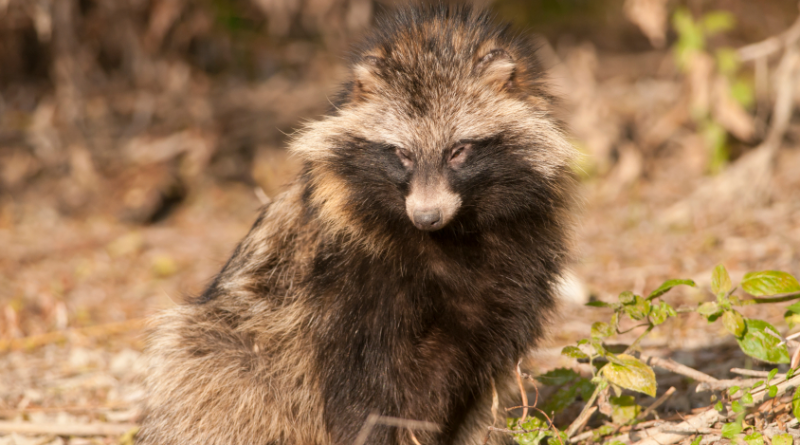 The raccoon dog spread to North Sweden from neighbouring Norway. (iStock)