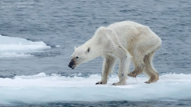 Kerstin Langenberger posted this photo on her Facebook page, and suggested a link between the polar bear's emaciated state and climate change. The photo has been shared more than 52, 000 times. (Kerstin Langenberger/Facebook/ via CBC.ca)