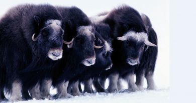 This week, the Alaska Department of Fish and Game issued an order allowing the harvest of muskox stranded on icefloes off  western Alaska. (US Fish and Wildlife Service/Getty Images)