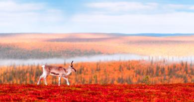 A reindeer in Finnish Lapland. (iStock)