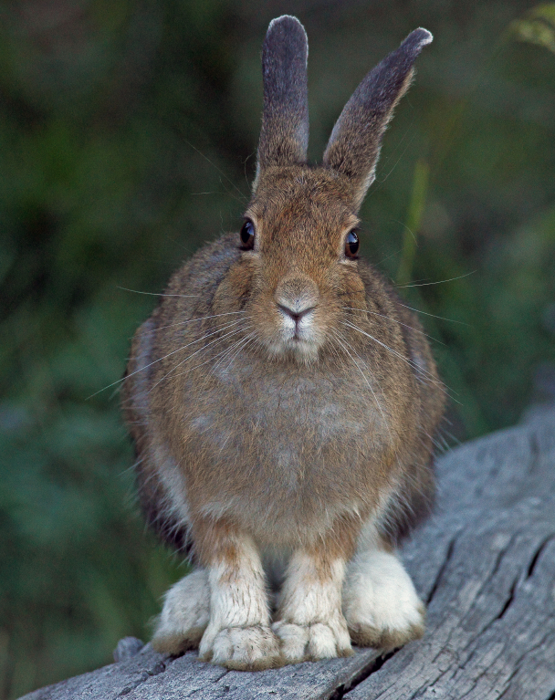 Until recently, snowshoe hare were absent from much of Alaska's North Slope, But since the 1970s, as shrubs have grown taller and more extensive along the region's rivers, the animals have moved north, attracting their main predator, lynx, with them. (iStock)