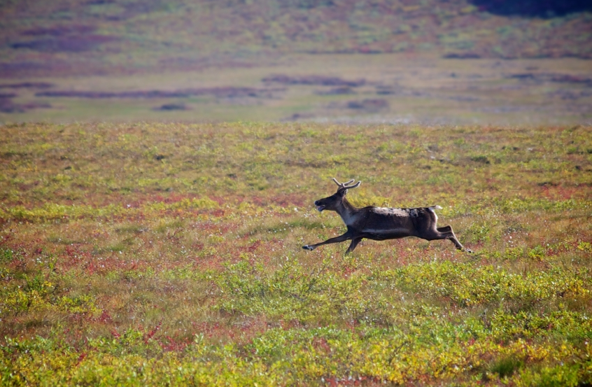 A caribou in Alaska. A panel in western Alaska representing the region's caribou-dependent villages and other stakeholders appears to be preparing for new hunting limits. (iStock)