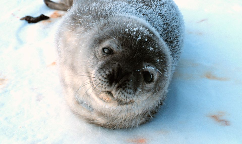 Saimaa seal pups thrive in ice and snow. (Yle)
