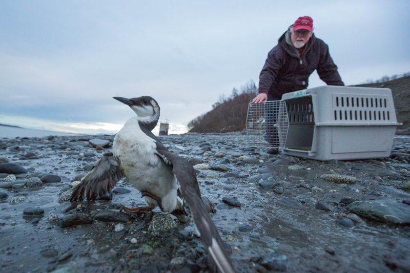Bird TLC volunteer John Zarnetske releases a dozen common murres at Pt. Woronzof on Wednesday, December 30, 2015. The non-profit rehabilitation center has seen a large number of the seabirds in distress recently. (Loren Holmes/ Alaska Dispatch News)