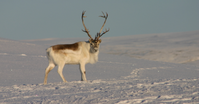 Significant ice storms in the mid-1990s contributed to the Peary caribou herd population decline. (iStock)