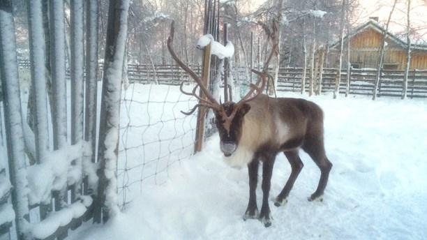 Reindeer at Nutti Sami Siida, just outside Kiruna, Sweden. (Ryan Tebo / Sveriges Radio)
