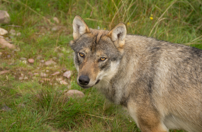 Swedish appeals courts have issued differing rulings on hunting permits for wolves. (iStock)