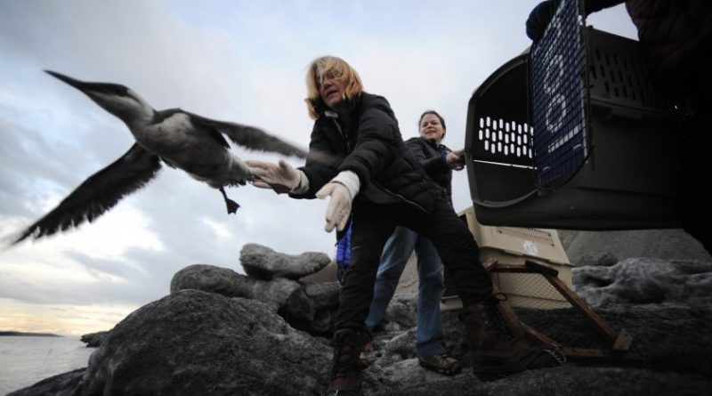 Veterinarian Leslie kroloff, releases a common murre  at Point Woronzof in Anchorage, Alaska on Monday Jan. 4, 2016. (Bill Roth / Alaska Dispatch News)