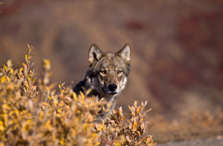 The U.S. Fish and Wildlife Service proposed a new rule Friday on predator hunting in Alaska refuges following in the controversial footsteps of the National Park Service. (iStock)