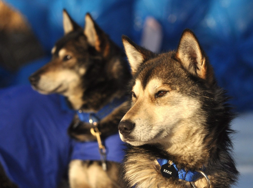 Willow, AK Iditarod musher Karin Hendrickson's swing dog Aberdeen and leader Chase keep an eye on things at the Takotna checkpoint during the 2011 Iditarod Trail Sled Dog Race on Wednesday, afternoon March 9, 2011. (Bob Hallinen/AP Photo/Anchorage Daily News)
